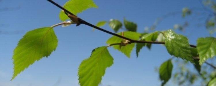 Birkenzucker – warum er den Blutzucker reguliert …