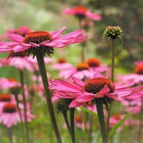 Echinacea für das immunsystem